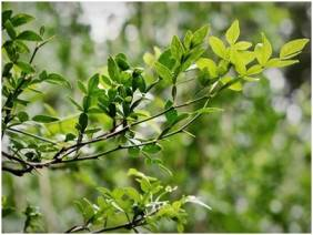 Vilvam Leaves Benefits