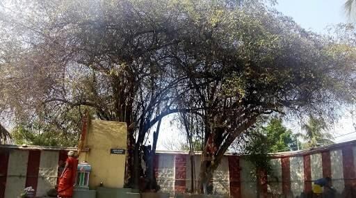 bhavani sangameshwarar temple sthala vruksham