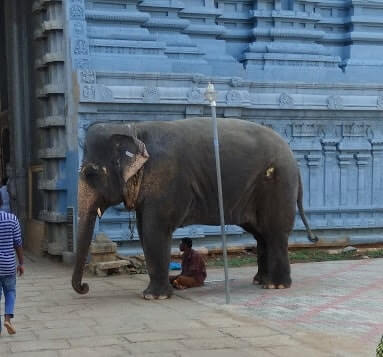 kalayarkoil temple elephant